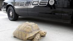 Alhambra Police Department patrol car and the giant tortoise