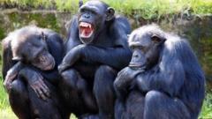 Three female chimps at Taronga Zoo in Sydney Australia