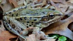 New species of leopard frog found in New York (c) Feinberg et al