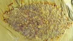 A picture of the fossil, called 'Nidelric pugio'