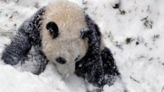 Bao Bao the panda in snow