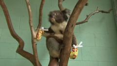 Koala in mittens