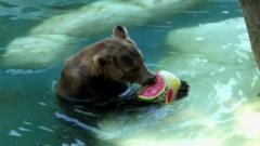 A bear eats a frozen watermelon