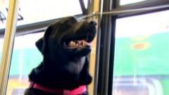 Black Labrador `Eclipse` on the bus