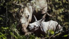 Thandi rhino and calf