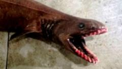 A frilled shark