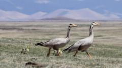 Bar-headed geese and goslings in Mongolia