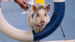 Amy the pig at her agility classes