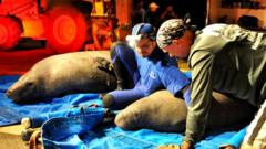 Rescued manatees