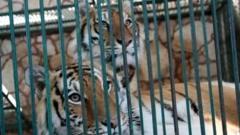 Tigers in a cage at the Club de los Animalitos
