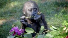Joanne the gorilla