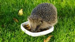 A hedgehog eating from a dish