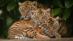 the three cubs together after their health check ups