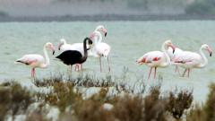 Black flamingo