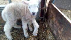 Jake the five-legged lamb