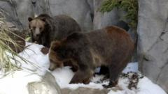 Grizzly bears play in snow