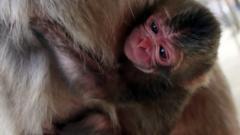 Newborn macaque monkey
