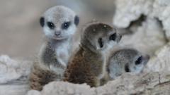 baby meerkat pups playing