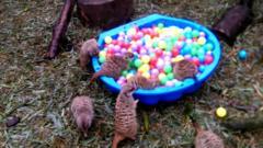 Meerkats play in a ball pool at Edinburgh Zoo