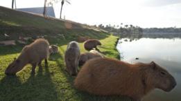Capivaras na lagoa da Pampulha, em BH