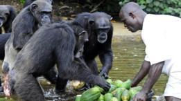 Chimpanzés na Libéria