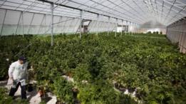 Estufa para produção de maconha para fins medicinais em Safed, Israel