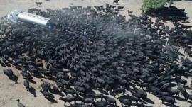 Cattle swarm truck in New South Wales, Australia on 8 August 2018