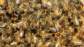 Worker bees in a hive