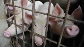 Alerta sin alarma: qué hacer frente al virus porcino con