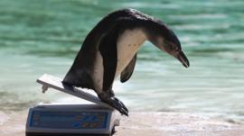 A Humboldt penguin