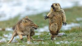 El encuentro mortal entre un zorro y una marmota: la espectacular imagen ganadora del concurso Fotógrafo de Vida Silvestre 2019