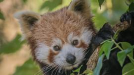 Red panda at Chester Zoo