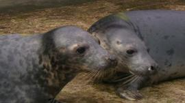 Twin seal pups 'a world first'