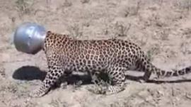 Leopard with head in metal pot
