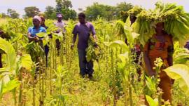 Tobacco farm in Zimbabwe