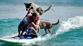 Surfing man crouches on his board with his dogs