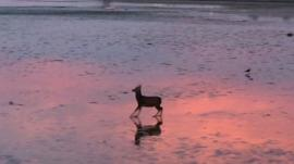 A deer bounding across the shore at Poole Harbour
