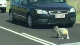 Koala on a highway in Queensland, Australia.