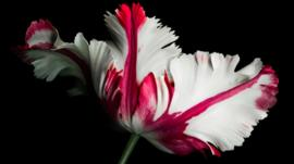 White and red parrot tulip on a black background