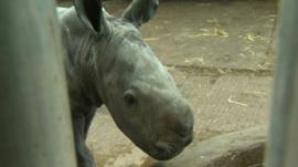 A baby white rhino born in Merseyside