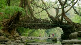 A bridge made from the roots of the India Rubber Tree (Ficus elastica)