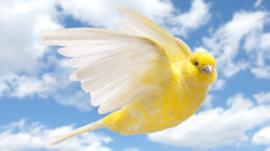 Por qué el cuerpo de los pájaros se está encogiendo mientras sus alas crecen