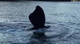 Waving whale