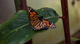 Los secretos evolutivos por los que la mariposa monarca puede comer una planta venenosa sin morir