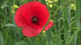Poppies in a French field - centenary of the Battle of the Somme