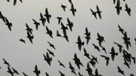 A flock of starlings
