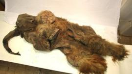 The preserved Yuka mammoth