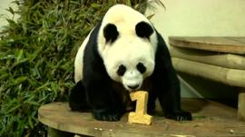 Giant pandas celebrate their first anniversary at Edinburgh zoo