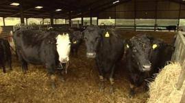 Chris Cook's herd of Pedigree Red Ruby cattle