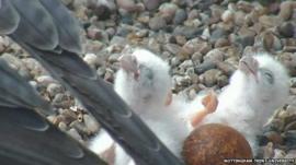 Peregrine falcon chicks